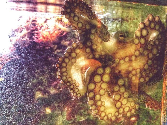 Animal Themes Close-up Water Underwater No People Sea Life Indoors  Animals In The Wild Day Nature Freshness Aquarium Octopus UnderSea Aquaterrazoo Zoo Hausdesmeeres EyeEmNewHere