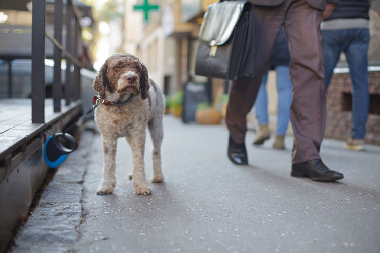 cute dog waiting for owner on the street One Animal Pets Canine Domestic Dog Mammal Incidental People Standing Day Leash City Pet Owner Cute Awaiting Lagotto Romagnolo Charming Tied Sidewalk Street Small Friend Sad Forgotten Alone Lonely