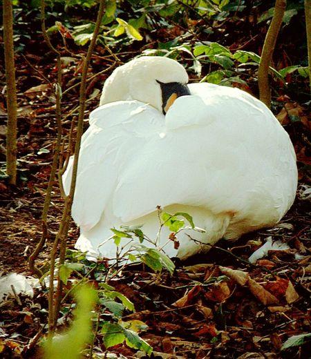 Swan Resting Water Bird Sleeping Bird