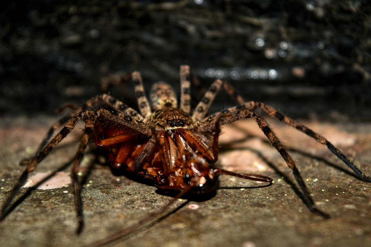 one animal, spider, animal themes, animals in the wild, no people, animal wildlife, close-up, day, outdoors, nature