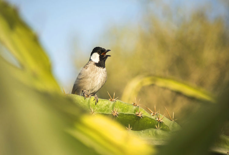 The white-eared bulbul (Pycnonotus leucotis), or white-cheeked bulbul, is a member of the bulbul family. It is found in south-western Asia from India to the Arabian peninsula. Bird Dubai Dubai Bird Dubai Creek Park Dubai Wildlife Dubaicity Dubaicreekpark Dubai❤ White-eared Bulbul Wildlife