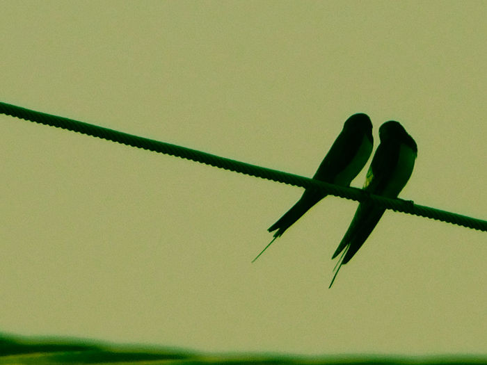 Swallow Love Romantic Air Animal Themes Animals In The Wild Bird Bird Lovers C Lose-up Close-up Day Energy Green Color Low Angle View Nature No People One Animal Outdoors Sky Swallow