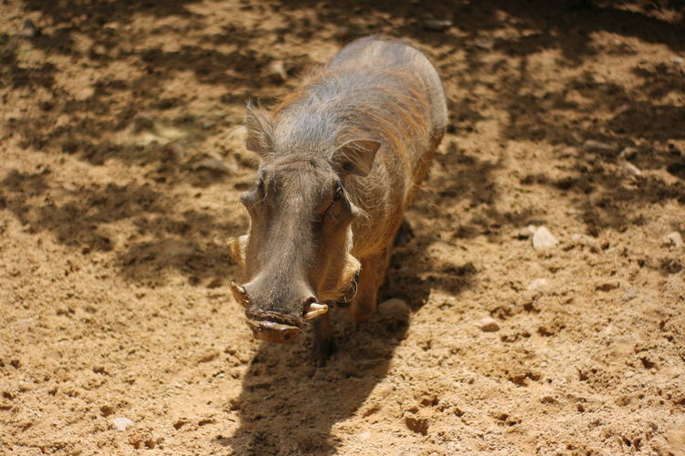High angle view of warthog standing at zoo