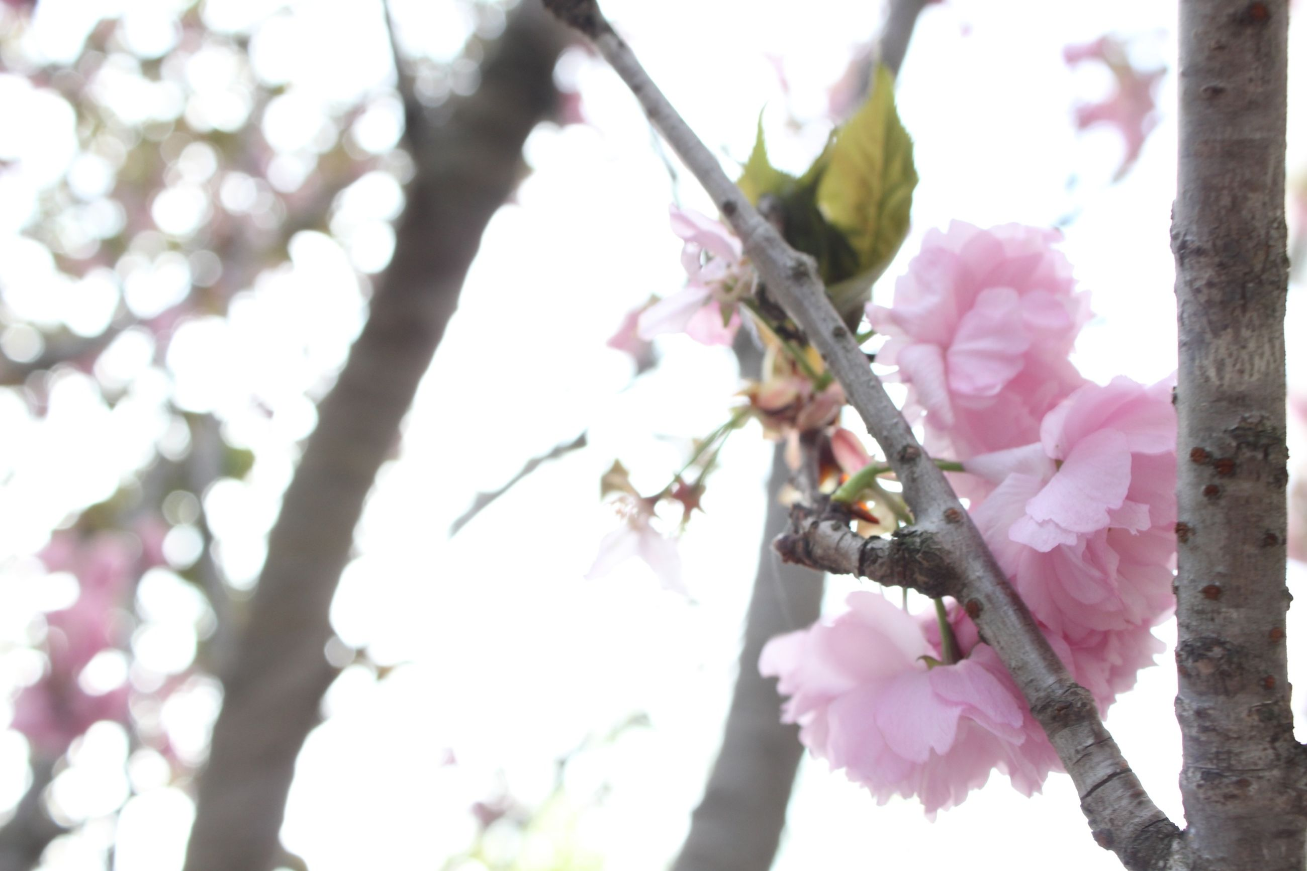 flower, branch, tree, low angle view, freshness, fragility, pink color, growth, beauty in nature, nature, focus on foreground, blossom, cherry blossom, close-up, sky, petal, springtime, cherry tree, clear sky, in bloom