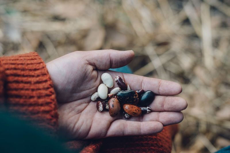 A handful of beans High Angle View Seeds Healthy Eating Farm Grow Your Own Food Beans Gardening Seed Saving Fall Harvest Heirloom Rustic Style Farm Fresh Bounty Harvest Human Hand Hand Human Body Part Holding One Person Real People Body Part Lifestyles Nature Focus On Foreground Outdoors