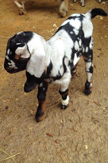 Lovable Serenityacres Serenitygoats It's Me Lovable Pets Animal Smile Lovable Pets! Newborn Babygoat Hello World Cute Pets Animal_collection Animal Photography Goatfarm Goat Goat Life