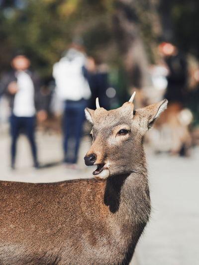 Close-up of deer against blurred background