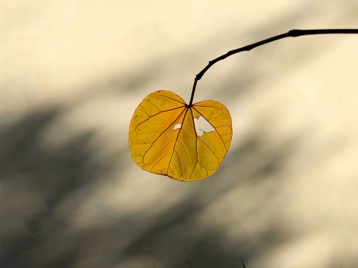 Close-up of yellow dry leaf