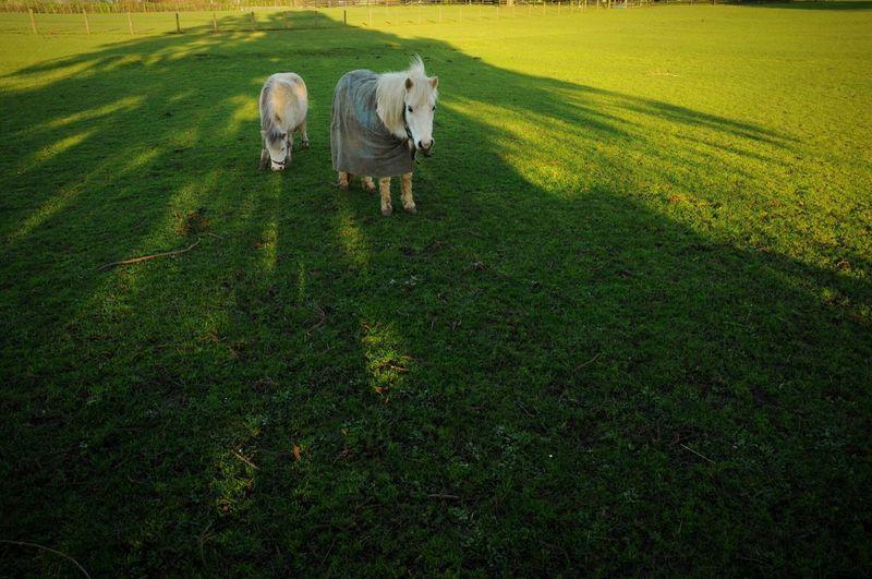 Grass Field Animal Shadow Mammal Green Color Grassy Green Daylight Sunshine Snapshot Open Edit OpenEdit Sunlight Light And Shadow Farm Landscape Horse Horses Horse Photography
