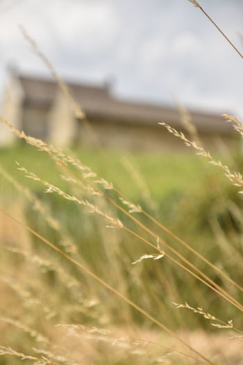 Agriculture Beauty In Nature Built Structure Close-up Crop  Day Field Focus On Foreground Grass Green Color Growth Land Landscape Nature No People Outdoors Plant Rural Scene Selective Focus Stalk Tranquility