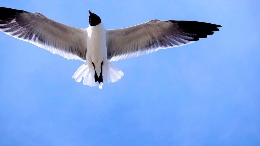 Directly Below Shot Of Black-Headed Gull Flying In Clear Blue Sky