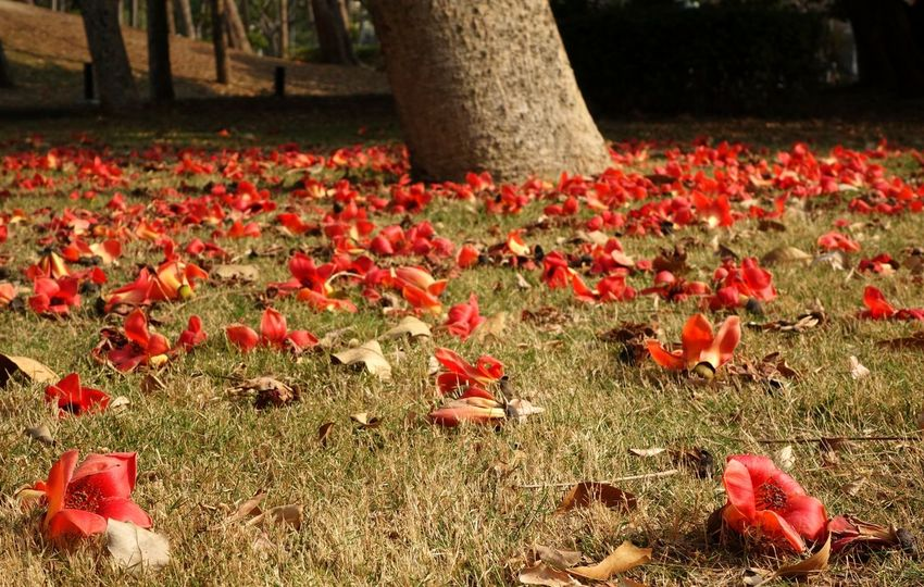 Wilting flowers of the Red Silk Cotton Tree (Bombax Ceiba) lie on the ground Beauty In Nature Blossoms  Bombax Ceiba Bombax Tree Bombaxceiba Fading Beauty Grass Red Silk Cotton Tree Temporal Tree Wilting Flowers