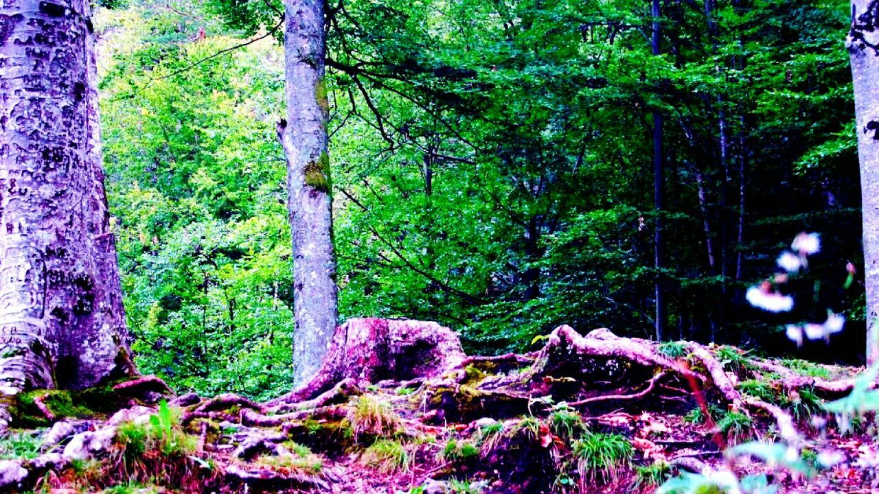 forest, tree, tree trunk, nature, growth, tranquility, beauty in nature, no people, woodland, day, outdoors, tranquil scene, scenics, branch
