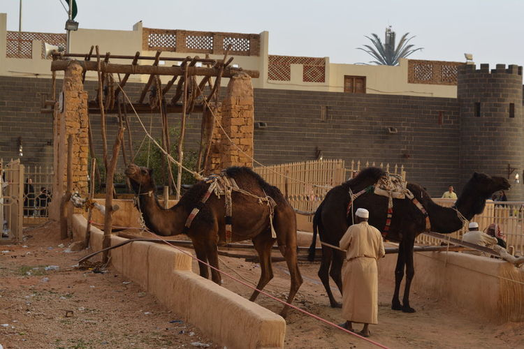 A Tradition well operated by two Camels - Aljanadreiah, Riyadh, Saudi Arabia Tradition Animal Wildlife Architecture Building Exterior Built Structure Cattle Day Domestic Domestic Animals Group Of Animals Herbivorous Livestock Mammal Nature Outdoors People Pets Real People Two Camels Vertebrate Water Well