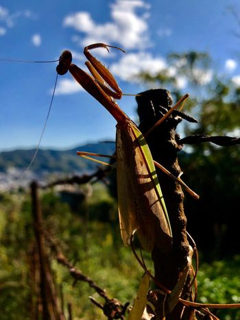A Mantis at the Last Moment. (181106-181126) Animal Themes Animal Sky Nature Animal Wildlife Animals In The Wild Plant Tree One Animal Insect Invertebrate Fence Barrier Boundary Day Outdoors No People Close-up Focus On Foreground