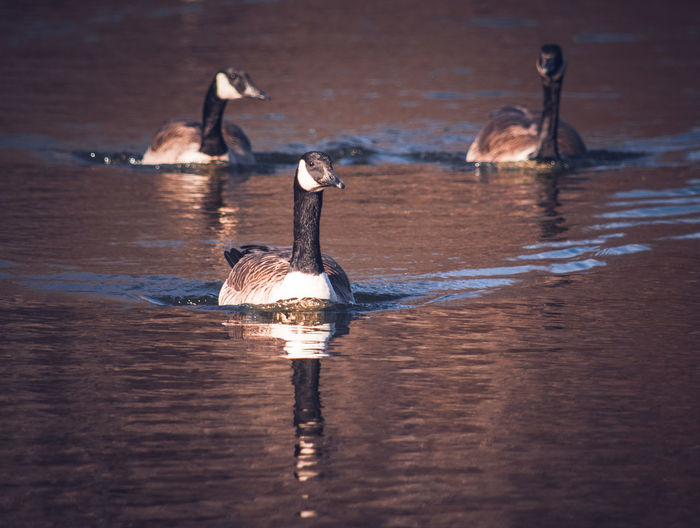 Animals In The Wild Animal Wildlife Animal Themes Nature My Point Of View Wildlife Photography Riverside Photography Wildlife & Nature Autumn Colors Nature Photography Canadian Goose Sunsetting On Water Animal Photography Wildlife Birds