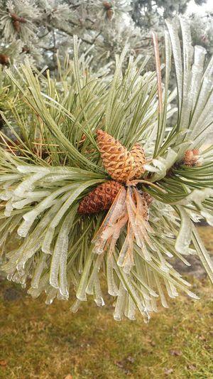 Pinetrees🌲 Pine Frozen Nature Plant Nature Wintertime Macro Photography Tree Frozen EyeEm Cold Temperature Eyeemphotography