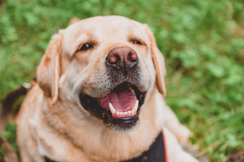 Happy labrador retriever lies on the grass and smiles. dog walk in the park