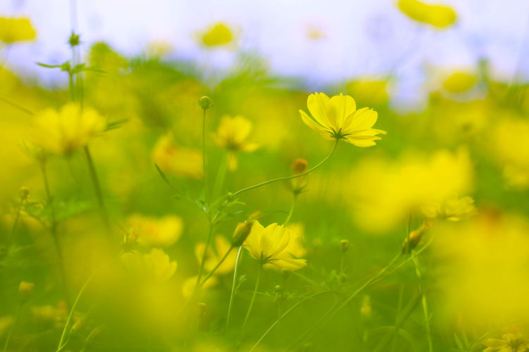 Beauty In Nature Blossom Botany Close-up Daisies Day Field Flower Flower Head Focus On Foreground Fragility Freshness Green Color Growing Growth In Bloom Nature Outdoors Petal Plant Selective Focus Springtime Stem Vibrant Color Yellow