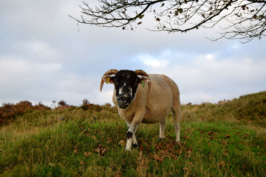 What ewe lookin at? Animal Nature Field Animal Wildlife Rural Scene Outdoors Beauty In Nature Nature Autumn Sheep And Lambs Sheep Grazing Sheeps 🐑 Countryside Walk Countryside Scene Sheep Sheep🐑