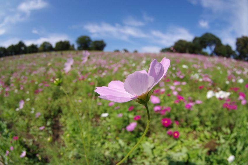 Flower コスモス畑 秋桜 Cosmos Flower Plant 国営昭和記念公園 Pentax K-3