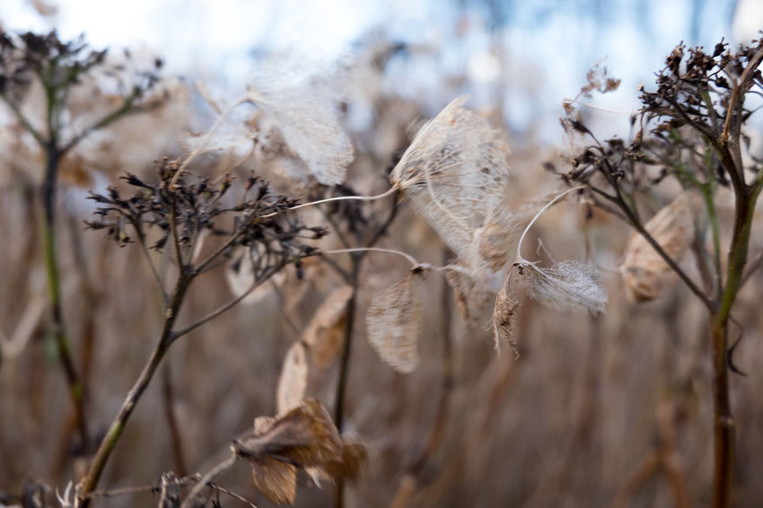 Close-up Day Dead Plant Dried Plant Dry Flower Head Focus On Foreground Fragility Nature No People Outdoors Plant EyeEm Ready   Shades Of Winter
