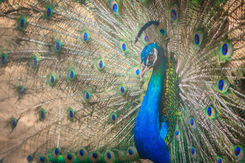 Beautiful peacock showing beautiful plumage and spreading tail-feathers in breading season. Peacock Blue Peacock Portrait Male Peacock Male Peafowl Peacock Peacock Pleasures Peacock Butterfly Peacock Colors Peacock Dance Peacock Dancing Peacock Feather Peacock Feathers Peacock Fly Peacock Photo Peacock Tail Peacockbutterfly Peacockfeather Peacockfeathers Peacockphotos Peacockpride Peafowl Peafowl Chicks Peafowl Head Peafowl Tail