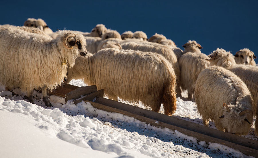 Animals from Botiza Village, Maramures - Romania. Farm Pasture Rural Winter Animal Animal Themes Cold Temperature Countryside Domestic Animals Farming Flock Of Sheep Group Herd Livestock Mammal Nature No People Outdoors Sheep Sheeps Snow White Wool