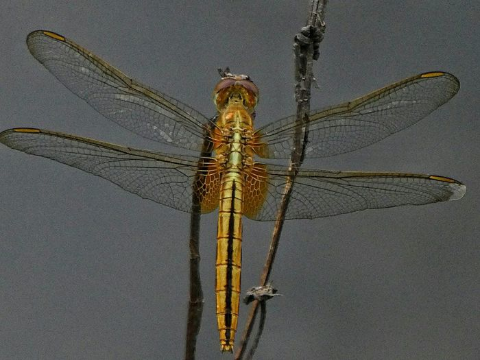 Insect Outdoors One Animal Animals In The Wild Nature Close-up Focus On Foreground Animal Themes Amazing Wings Golden Dragon Fly Amazing Colors Nature Artistic Photos Beauty In Nature Art By Nature Artphotography Nature Photography Dragonfly_of_the_day
