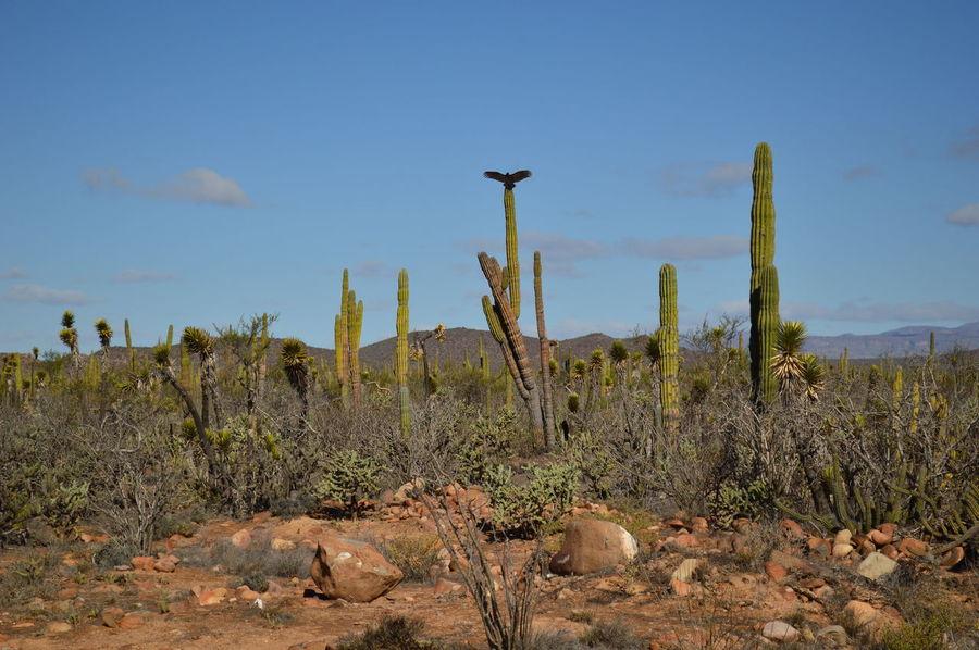 Vista en el desierto del valle de los sirios, un desierto lleno de vida Beauty In Nature Bird Cactus Cardon Cactus Day Growth Landscape Nature No People Outdoors Plant Scenics Sky Tranquil Scene Tranquility