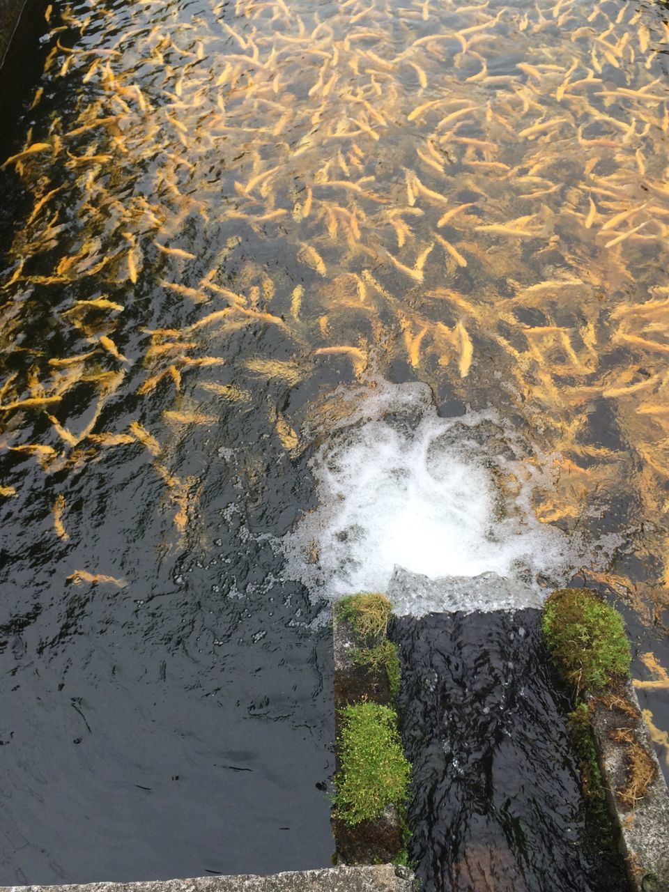 School Of Fish Swimming In Small Pond