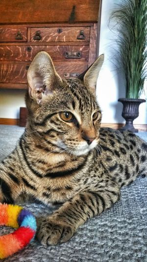 (My handsome Brody) Savannah Cat  Animal Themes One Animal Close-up Indoor Cat No People Cat Watching Cat Posing Cat Portrait Cats Of EyeEm Eyeem Cat Lover🐈