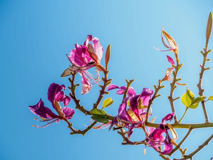 Beauty In Nature Blooming Clear Sky Close-up Day Flower Flower Head Fragility Freshness Growth Low Angle View Magnolia Nature No People Outdoors Petal Pink Color Plant Sky