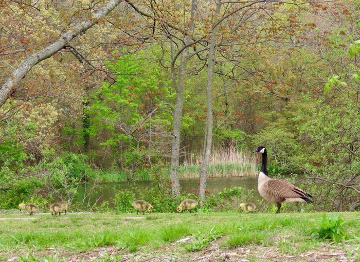 Landscape green grass trees Canada goose with goslings animal themes water bird family beauty in nature outdoors Nature Green Color No People