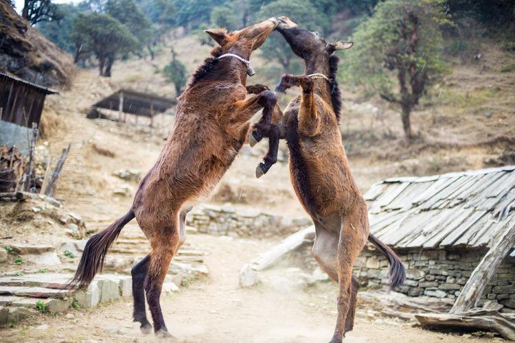 Donkeys rearing up
