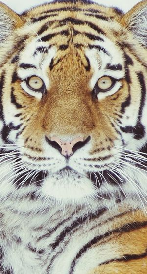 Tiger One Love Like Cull Love Cat