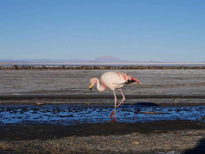 Flamingo at beach against clear sky