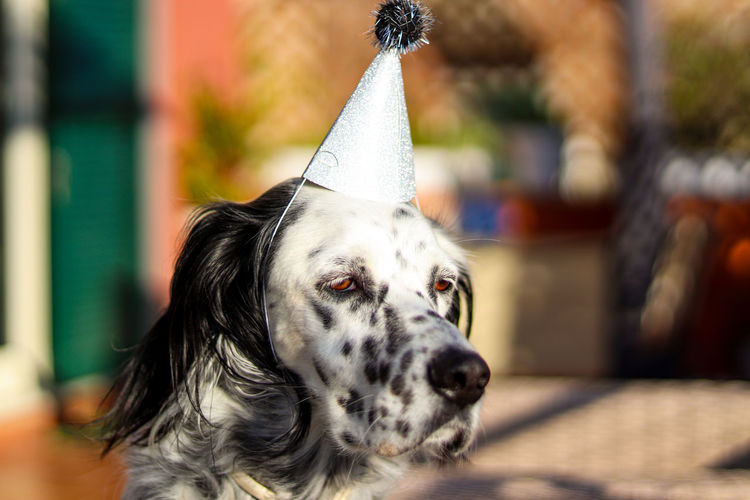 Close-up of dog looking away with a funny hat