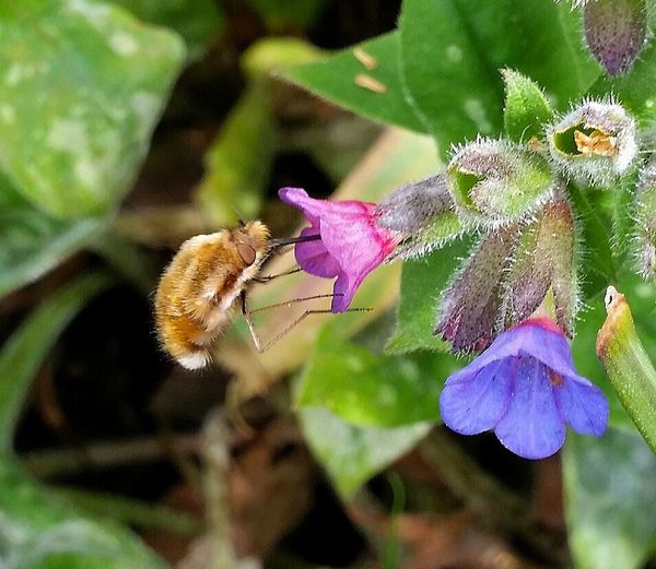 Bee Fly Beefly
