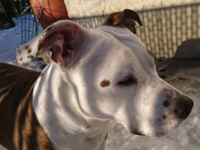 On guard Pitbull Pets Portrait EyeEm Selects Pets Sunlight Close-up