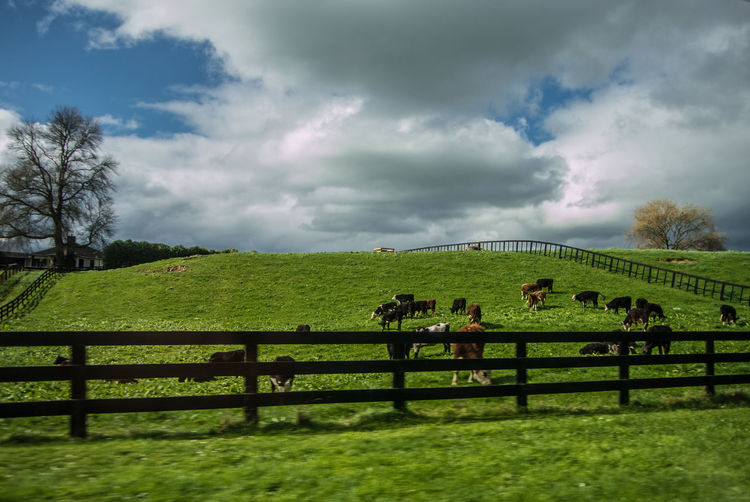 Cattle farm Grassland Under Cloudy Sky Landscape Photography New Zealand Scenery New Zealand Landscape Grassland Grasslands New Zealand New Zealand Natural No People