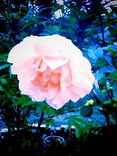 Flower Petal Fragility Freshness Flower Head Close-up Pink Color Growth Rose - Flower Beauty In Nature Nature In Bloom Blossom Springtime Botany Softness Single Flower Pink Rose Petals Bloom