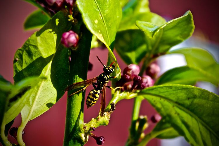 Close-up of hornet on berry plant
