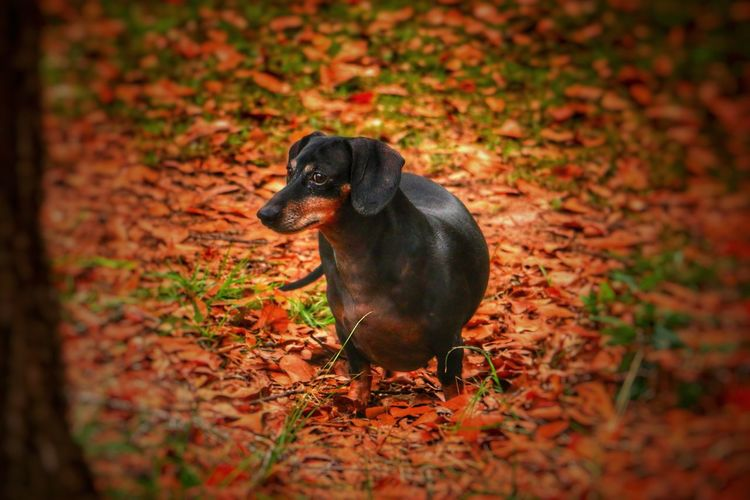Domestic Animals Animal Themes One Animal Dog Mammal Autumn Pets Leaf Outdoors No People Nature Day Field Full Length Dachshund Weiner-Dog Black Dog