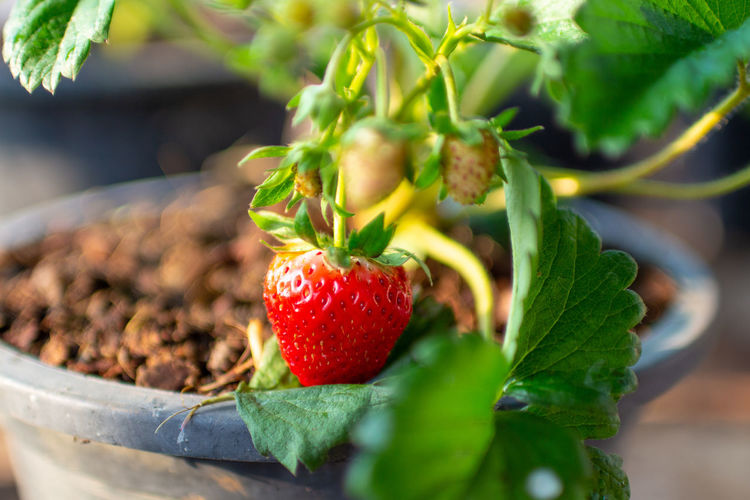 Strawberry in