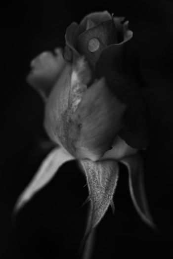 Rose🌹 Buds Before The Bloom Close-up Flower Head Water Drop Macro NatureBlack & White Black And White Monochrome Nature Textures Nature Details Light In The Darkness Flower Textured  EyeEm Nature Lover From My Point Of View Capture The Moment EyeEm Best Shots