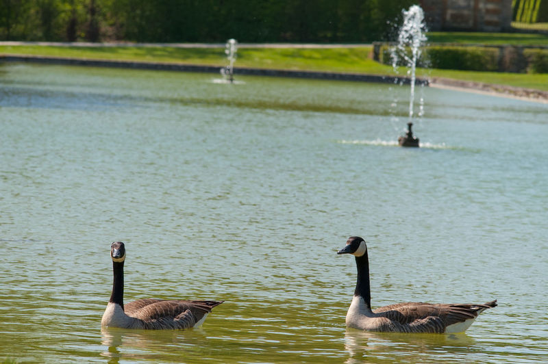A Pair Of Goose