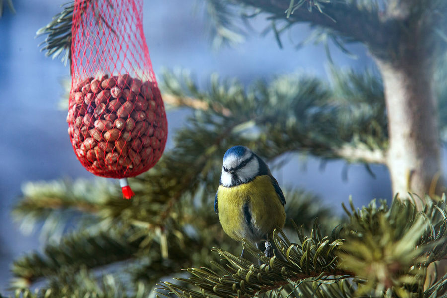 Peanuts Tree Animal Themes Beaty In Nature Bird Bird Feeder Food Titmouse Animals In The Wild Focus On Foreground Nature No People Day Animal Wildlife Beauty In Nature
