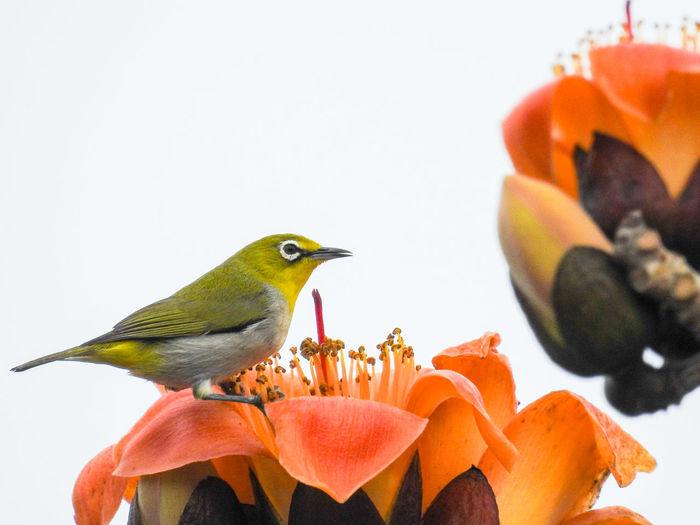 綠繡眼 Bird White