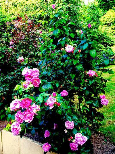 Roses Summer